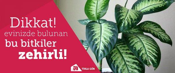 Dikkat! Evlerinizde bulunan bu bitkiler zehirli!